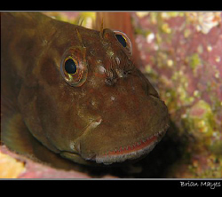 Red-lipped Blenny from Tenerife. Even better than Mick Ja... by Brian Mayes 